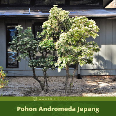 Ciri Ciri Pohon Andromeda Jepang