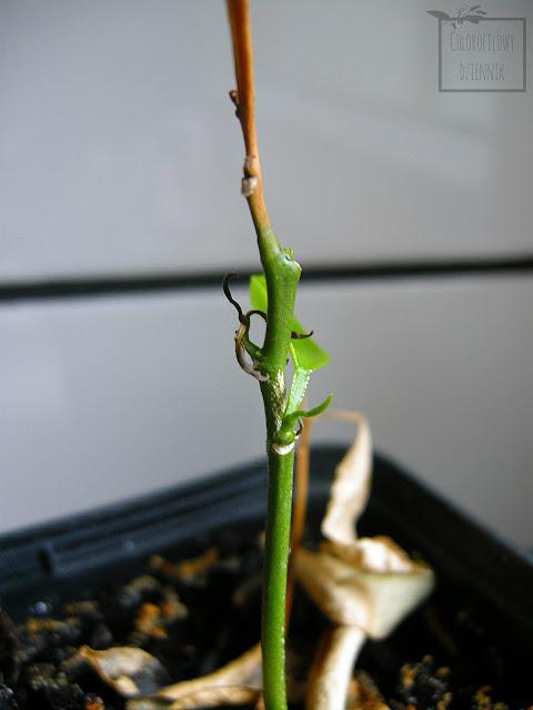 Grejpfruit (Citrus paradisi) z nasion, dwuzarodkowe, wielozarodkowe nasiona, kwiaty grejpfruita, roczne siewki, cytrusy z pestki.
