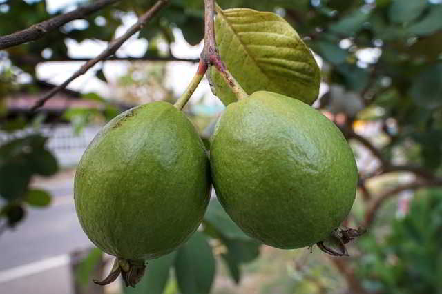 These 4 Diseases Are Cured Forever By Eating Guava On an Empty Stomach.