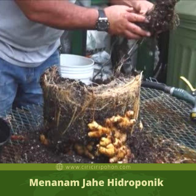 Ciri Ciri Pohon Jahe Hidroponik