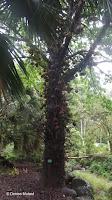 Cannonball tree - Waimea Valley, Oahu, HI
