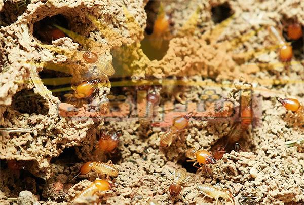 علاج النمل الابيض في الخشب