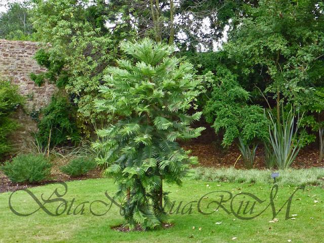 Botaniquarium - young Wollemia nobilis