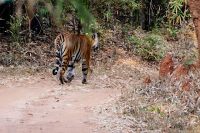 Tigress in Bandavgar National Park, Andra Pradesh, India
