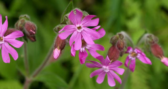 Silene dioica - flor masculina