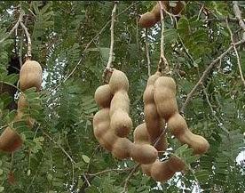 पेड़ पर लटकती हुई इमली