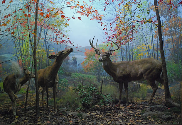 Nyc Artful Dioramas Of North American Mammals Museum Natural History