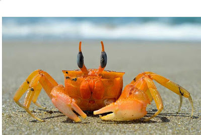 Fiddler Crabs Keeping and Caring as Pets: Types, Care, Habitat, Food, Tank, Lifespan, Facts