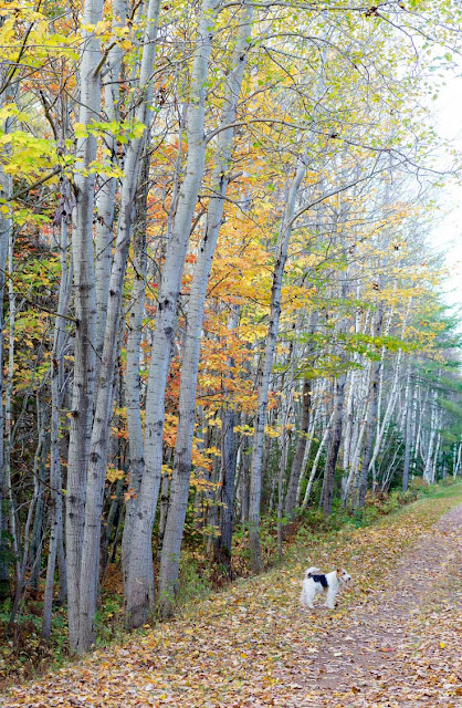 A Wire Fox Terrier on the Confederation Trail, Prince Edward Island