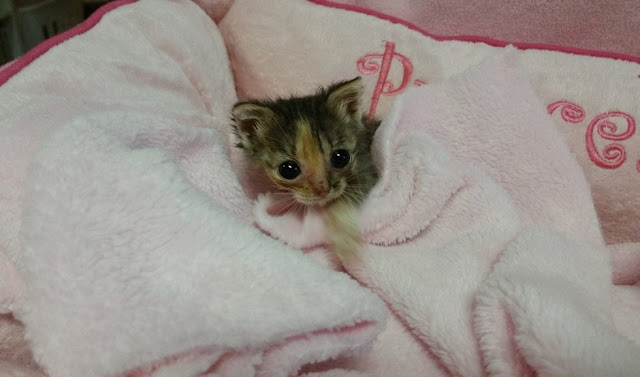 2-Day-Old Micro Kitten Was Found Locked In A Cold Cage Waiting To Die