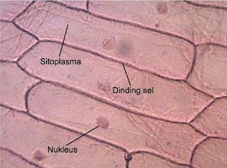 sel epidermis bawah merah