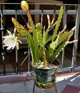 Epiphyllum indoor Plant