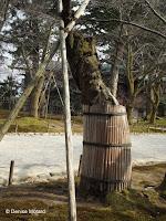 This tree is protected by a 'barrel' - Kenroku-en Garden, Kanazawa, Japan