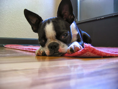 Sinead the Boston terrier looking very tired