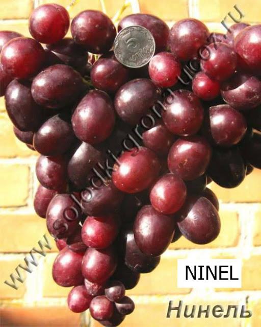 Ninel Grape Variety