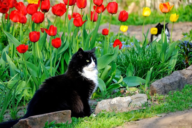 Black and white cats in the garden in Spring