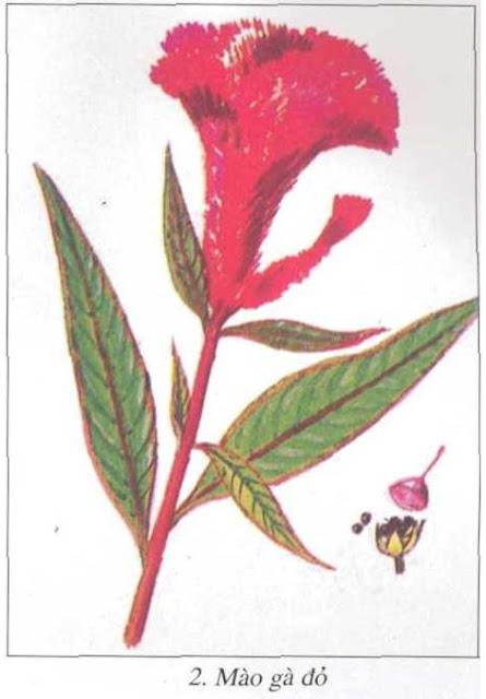 Mào gà đỏ - Celosia cristata - Nguyên liệu làm thuốc Cầm Máu