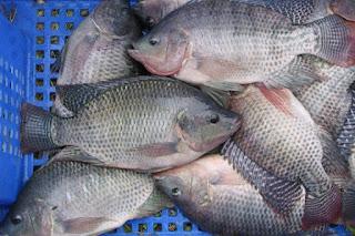 Inilah Supplier Jual Ikan Nila Bibit dan Konsumsi Pekan Baru, Riau
