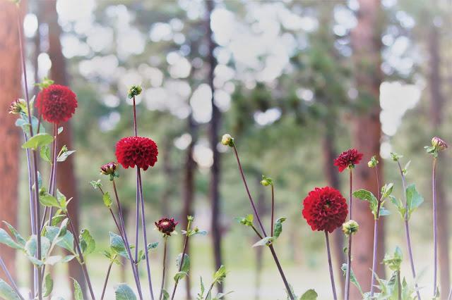 dahlia, red, grower, farmer, athomewithjemma