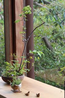 オオコマユミとヘビイチゴの草木盆栽とヒナソウの小さな鉢