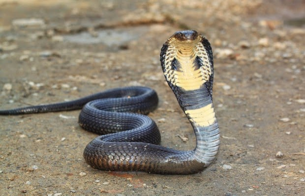Where does the king cobra live