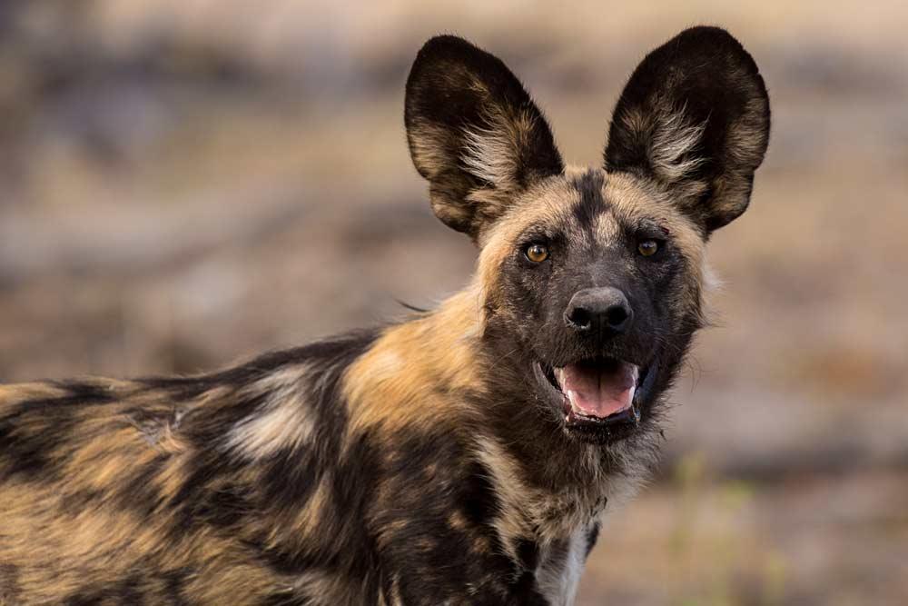 крашеный волк на горе Килиманджаро в Африке