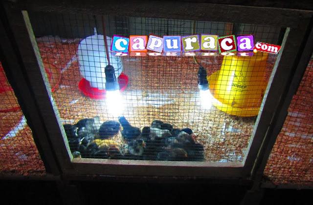 menentukan lampu kandang ayam