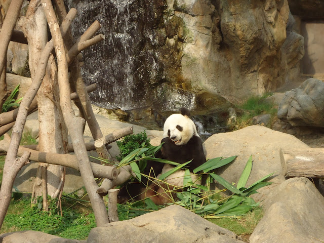 Panda at Ocean Park Hong kong