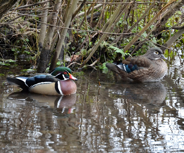 male and female wood ducks. she is plain jane brown but he looks like he was painted by a hobbyist. dark green back, tan belly. white accent lines between the green and tan