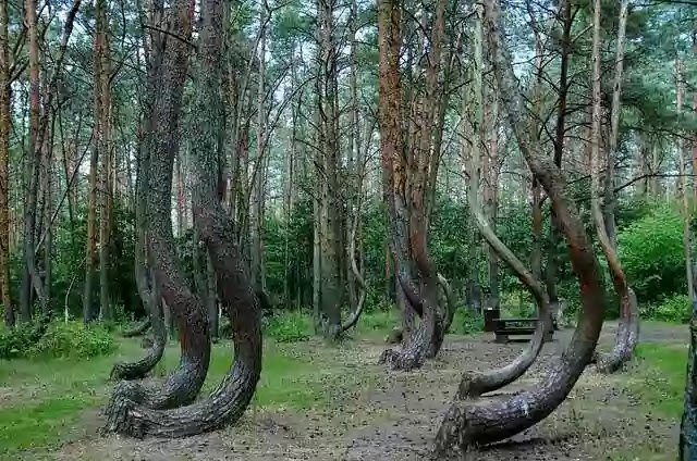 Crooked-forest,The-Crooked-Forest