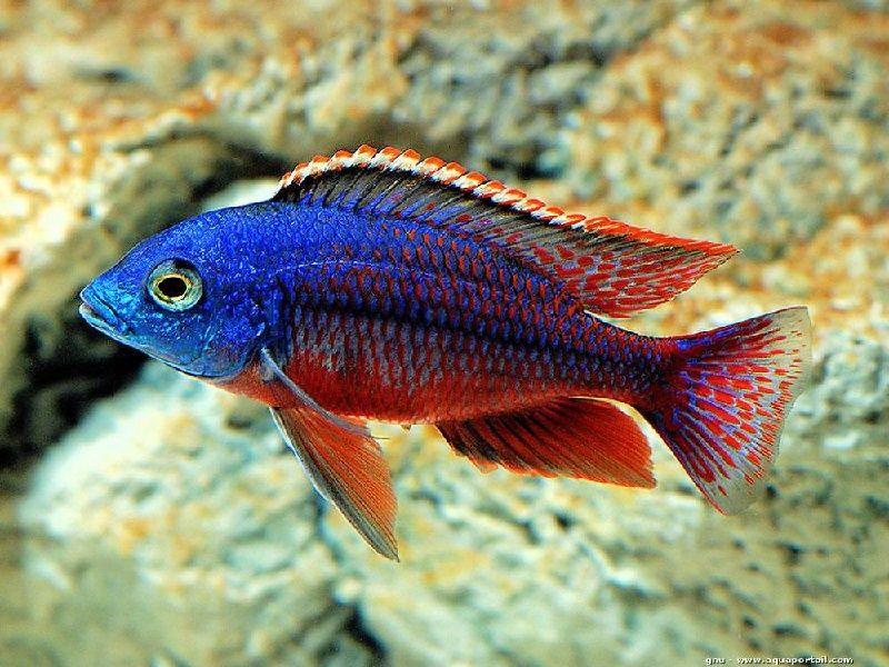 Gambar jenis jenis ikan cichlid ( Malawi Cichlids ) - Red Empress ( Protomelas taeniolatus )