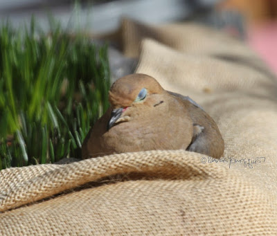 """This picture was taken on a cold winter day in a  NYC rooftop garden. During the winter seasons containers have been wrapped in bubble wrap topped with a layer of burlap for protection from cold temperatures. The focus of the image is on a Mourning dove. The creature is sitting atop the mulch that has been added to provide extra protection for the flora during winter. One of the wings is completely open and raised above the body. A fair amount of an array of green foliage is pushing their way through the mulch. This garden is the setting for my three volume book series, """"Words In Our Beak.""""  Mourning doves are featured in volume one. Info re these books is included in another post within this blog @ https://www.thelastleafgardener.com/2018/10/one-sheet-book-series-info.html TITLE: This picture was taken on a cold winter day in a  NYC rooftop garden. During the winter seasons containers have been wrapped in bubble wrap topped with a layer of burlap for protection from cold temperatures. The focus of the image is on a Mourning dove. The creature is sitting atop the mulch that has been added to provide extra protection for the flora during winter. One of the wings is completely open and raised above the body. A fair amount of an array of green foliage is pushing their way through the mulch. This garden is the setting for my three volume book series, """"Words In Our Beak.""""  Mourning doves are featured in volume one. Info re these books is included in another post within this blog @ https://www.thelastleafgardener.com/2018/10/one-sheet-book-series-info.html"""