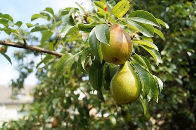 arbol con pera