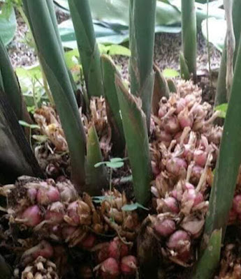 Kapulaga Jawa (Amomum compactum)