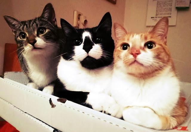 koty a ciąża