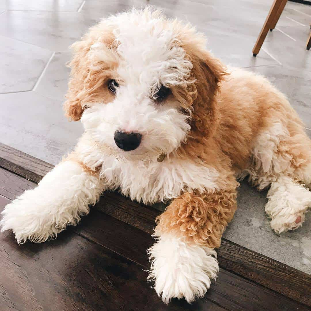 Bernedoodle-personality