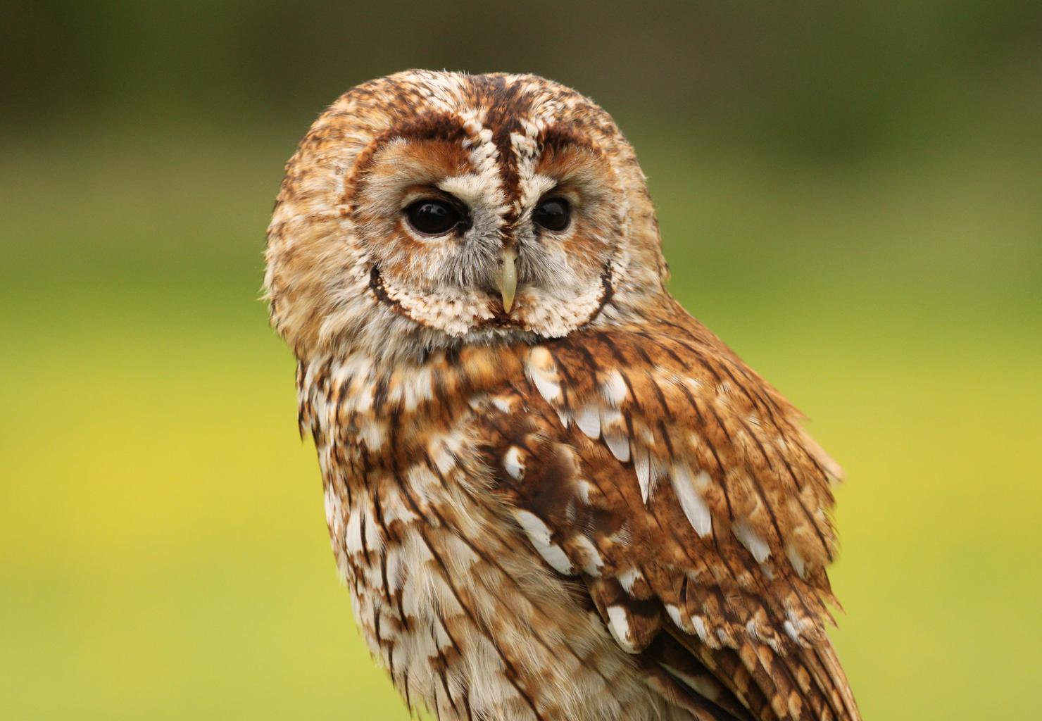 Chris And Lindsey S Place Tawny Owls