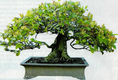 Bonsai Chinese hat
