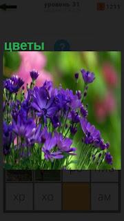 растут полевые цветы синего цвета
