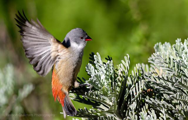 Swee Waxbill Bird Landing Kirstenbosch Photographer Vernon Chalmers