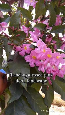 Tabebuya Rosea Bunga Pink