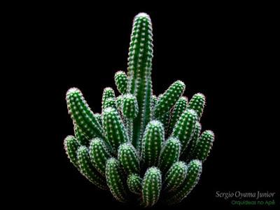 Cacto Echinopsis chamaecereus