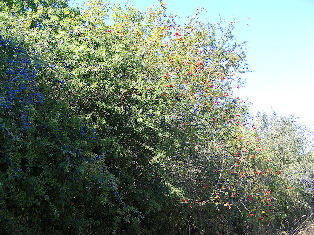 Sloes and rose hips in a hedgerow. Indre et Loire. France. Photo by Loire Valley Time Travel.