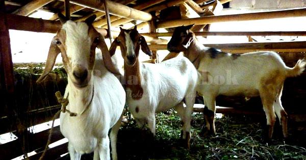 Cara Beternak Kambing Untuk Pemula dengan Hasil Yang Berkualitas