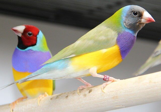 male and female finches gouldian finch photo