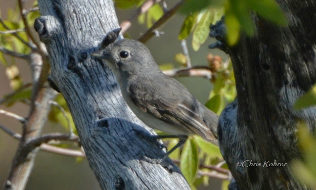 Gray Vireo on Mt. Lemmon