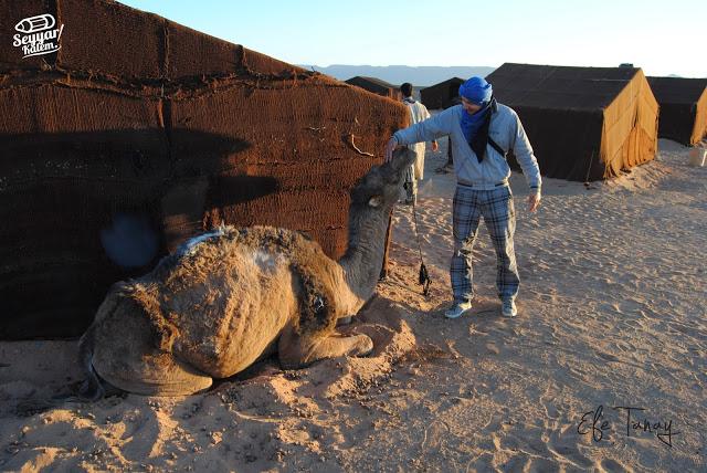 fas çölde deve