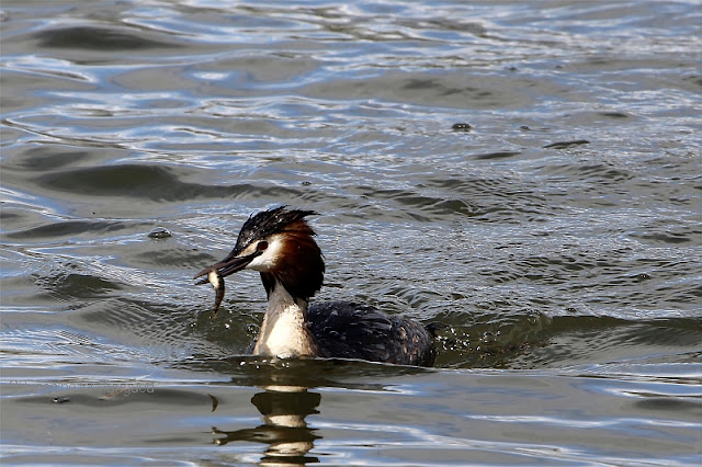 great crested grebe with freshly caught fish