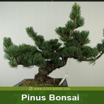 ciri ciri pohon pinus bonsai