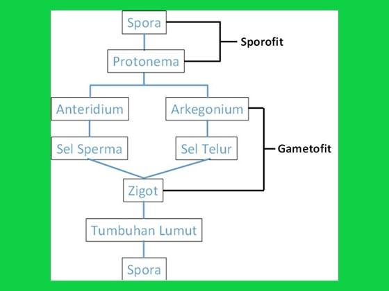 tahapan pergiliran reproduksi lumut dari sporofit ke gametofit